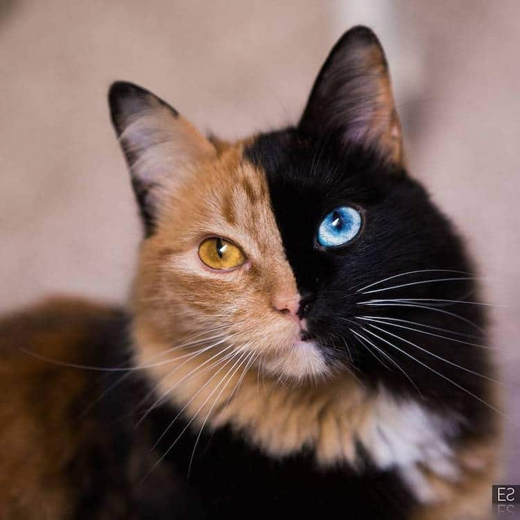 quimera-chimera-cat-1.jpg