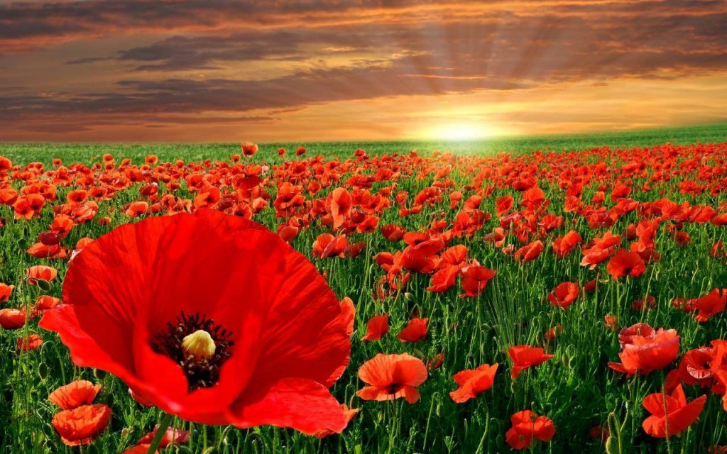 The-Poppy-Flower-And-It_s-Significance-To-Memorial-Day_1-1024x640.jpg